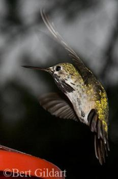 Ephemeral gold of Calliope Hummingbird