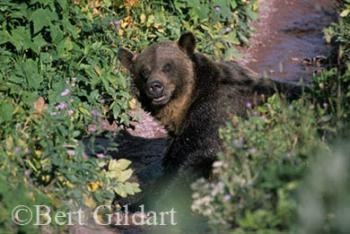 Startling a grizzly