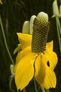 Cone flower. 2 strobes, 1 off camera