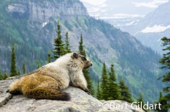 King and queens of all they survey - Marmots
