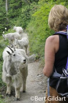 Nancy Dennis and tolerant mountain goats