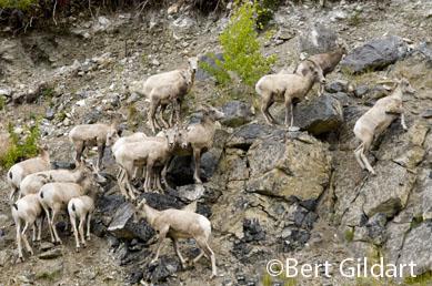 Dall sheep greeting us