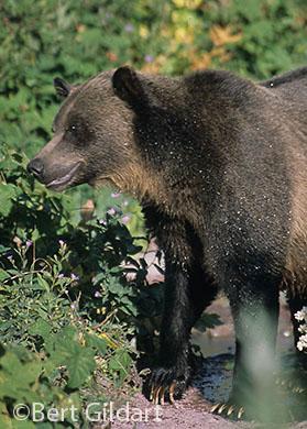 Bear lured by berries