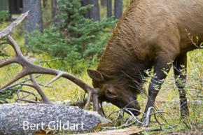 Bull elk murdering log