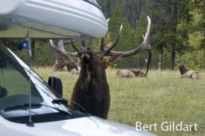 Elk attacking pickup camper