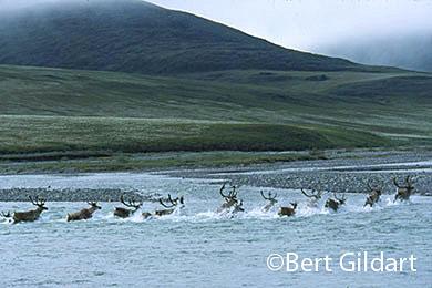Caribou define ANWR