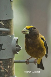 grosbeak (14 of 5)
