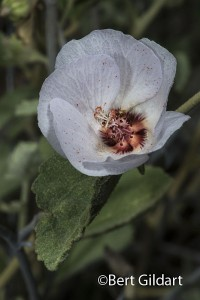 Hibiscus-3