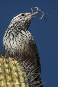 CactusWren (1 of 1)