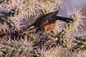 CactusWren-3