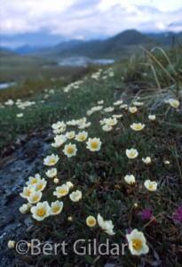 Arcticflora