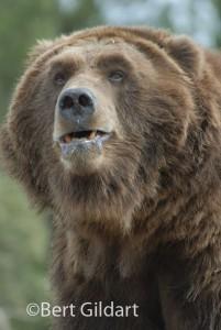 41189G-Bear